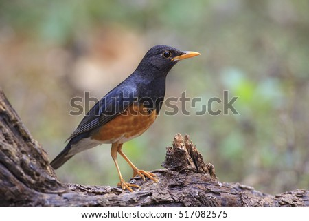 Beautiful Male of Black-breasted Thrush Bird, standing on the log showing its side profile in nature of Thailand