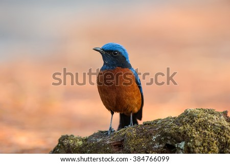 Beautiful Male of Chestnut-bellied Rock-thrush Bird, standing on  branch showing its front profile in nature of Thailand