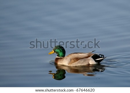 Beautiful male or drake duck swimming on a pond - stock photo
