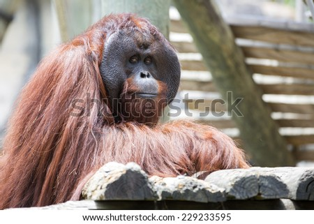 Beautiful male orangutan looking to camera. - stock photo