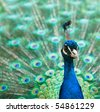 Beautiful male peacock with colorful tail fully open - stock photo