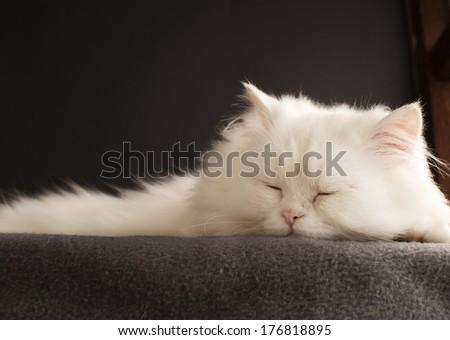 Beautiful male Persian tomcat sleeping - stock photo