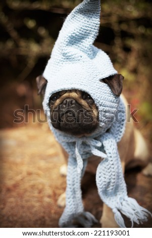 Beautiful male pug puppy dog sitting on a tree log in the sunshine with a blue scarf and a gnome hat. Autumn dog fashion, fall weather. Cute puppy face - stock photo