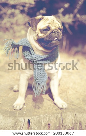 Beautiful male pug puppy dog sitting on a tree log in the sunshine with a blue scarf. Autumn dog fashion, fall weather - stock photo