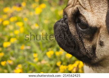 Beautiful male Pug puppy siting in front of the grass background with yellow flowers - stock photo