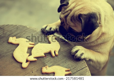 Beautiful male Pug puppy truing to get cookies in shape of a ferret on a wooden table background. - stock photo