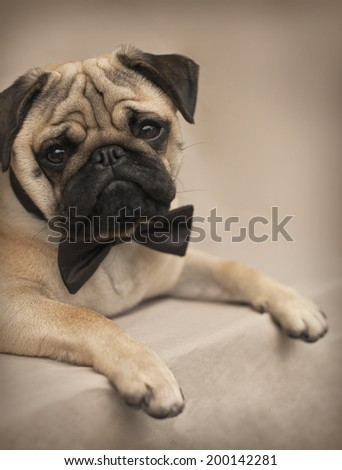 Beautiful male Pug puppy with a bow siting in front of the white background - stock photo
