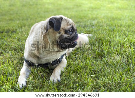 Beautiful male Pug puppy with a huge smile siting in front of the grass background