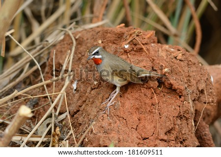 beautiful male Siberian Rubythroat (Luscinia calliope) standing on ground