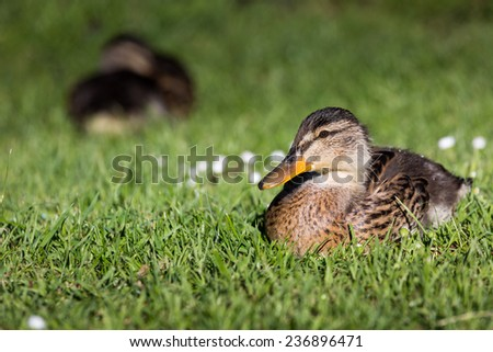Beautiful Mallard Duck on the green grass