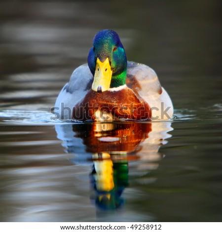 Beautiful mallard in his natural surroundings - stock photo