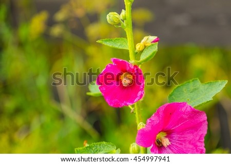 Beautiful mallow flower close up. Popular polish flower growing in garden. - stock photo