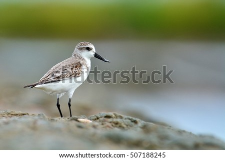 Beautiful mangrove bird, Spoon-billed sandpiper (Calidris pygmaea) who Critically Endangered status in Red list of IUCN in nature in Thailand