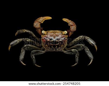 Beautiful Mangrove Crab on black background, Family Sesarmidae - stock photo