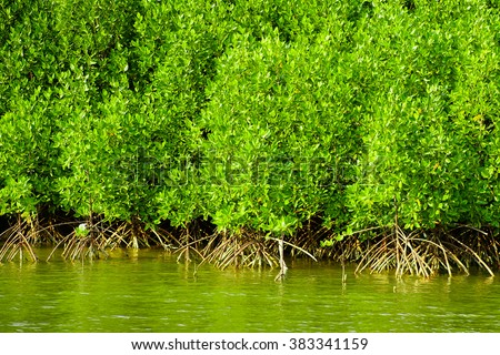 Beautiful mangrove forest , thailand. - stock photo