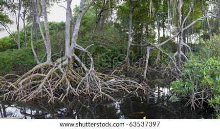 Beautiful mangroves Mayaro Trinidad - stock photo