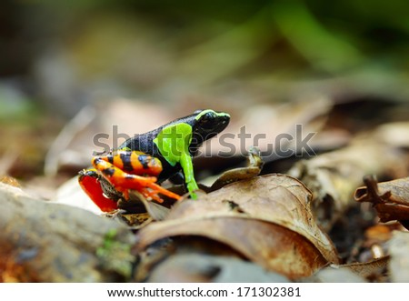 Beautiful Mantella (Mantella pulchra) endemic species of frog in Madagascar - stock photo
