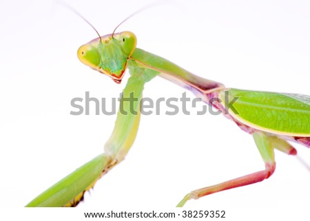 beautiful mantis stare to you isolated on white background - stock photo