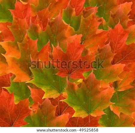 beautiful maple leaf background - stock photo