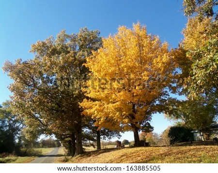Beautiful maple tree changing colors in Autumn. - stock photo