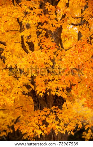 Beautiful maple tree in autumn colors, New England - stock photo