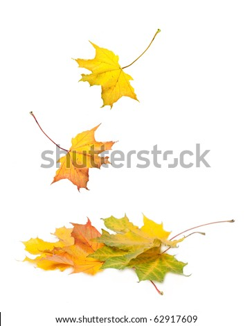 Beautiful maple winter leaves falling on white background