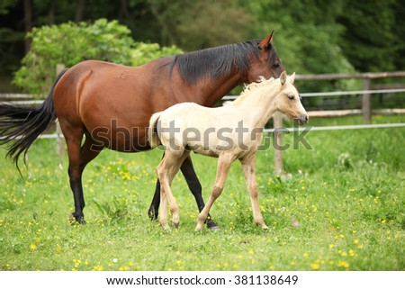 Beautiful mare with its foal moving together on pasturage - stock photo