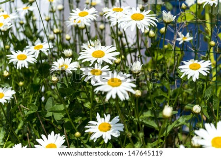 beautiful marguerites, with shallow depth of field - stock photo
