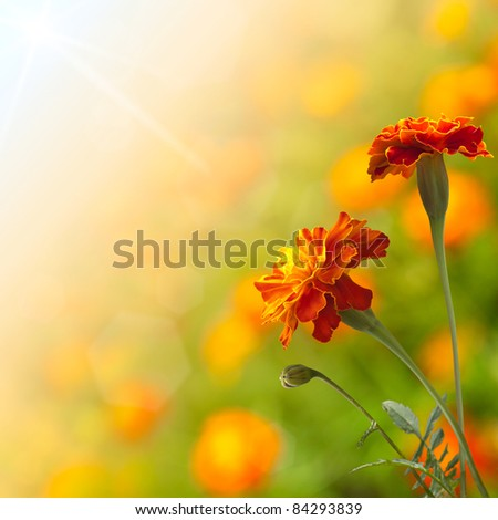 Beautiful Marigolds (tagetes) - stock photo
