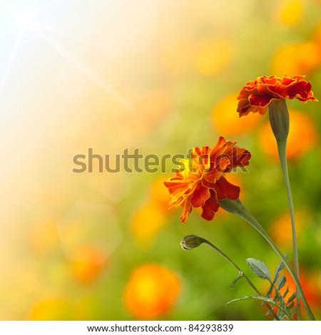 Beautiful Marigolds (tagetes) - stock photo