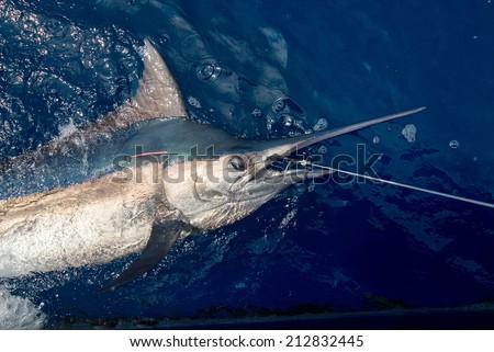 Beautiful marlin real bill fish on Andaman Islands sport fishing - stock photo