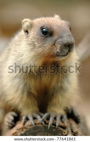 Beautiful marmot - stock photo