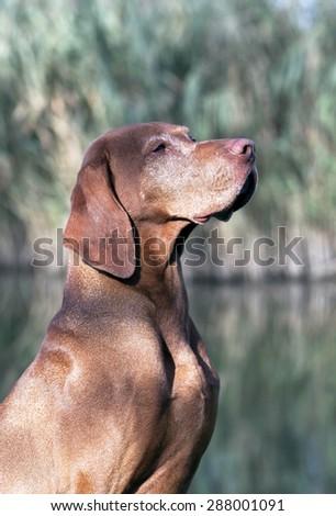 Beautiful matured Hungarian Vizsla male portrait - stock photo