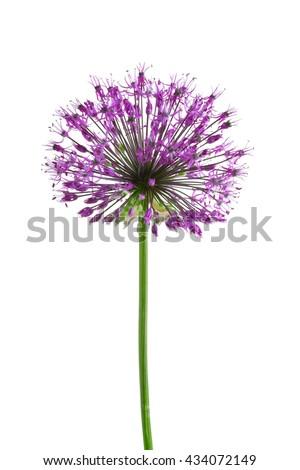 Beautiful meadow flower (Purple Giant Allium), isolated on white - stock photo