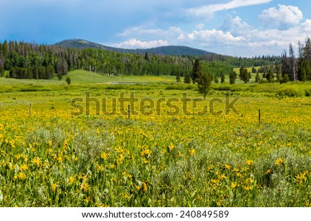 Beautiful meadow of Heartleaf Arnica in the mountains of Colorado. - stock photo