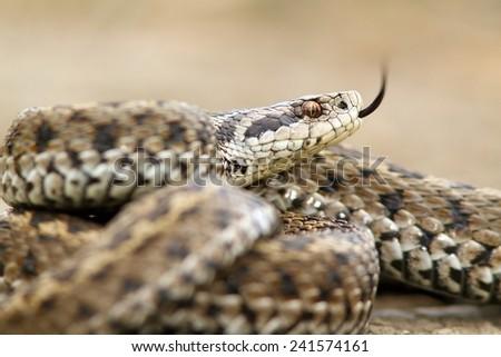 beautiful meadow viper ( Vipera ursinii ) closeup, image taken in situ, Romania - stock photo