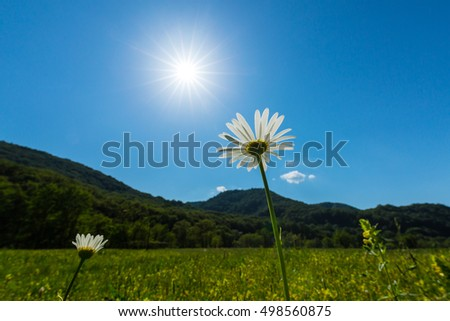 Beautiful meadow with wild daisy flowers on a spring day in the mountains, under bright sun counter light