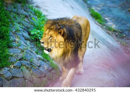 Beautiful Mighty Lion - stock photo