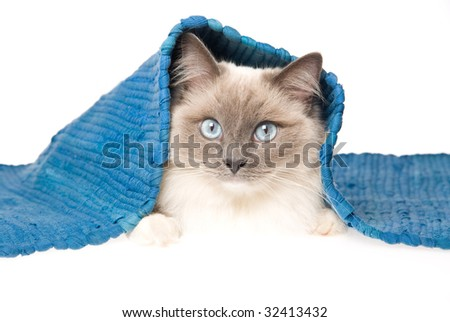 Beautiful mitted Ragdoll cat under blue woven rug, on white background - stock photo