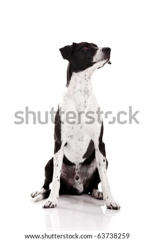 Beautiful mixed breed dog sitting over white background - stock photo
