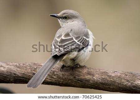 Beautiful mockingbird sitting on tree limb - stock photo
