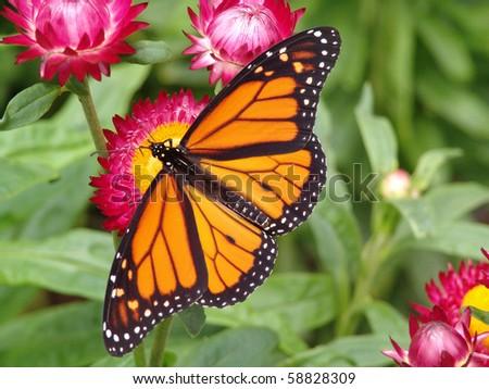 Beautiful Monarch Butterfly - stock photo