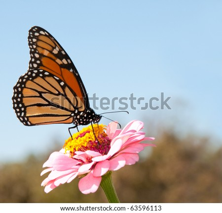 Beautiful Monarch butterfly feeding on a pink Zinnia against blue skies - stock photo
