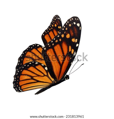 Beautiful monarch butterfly flying isolated on white background. - stock photo