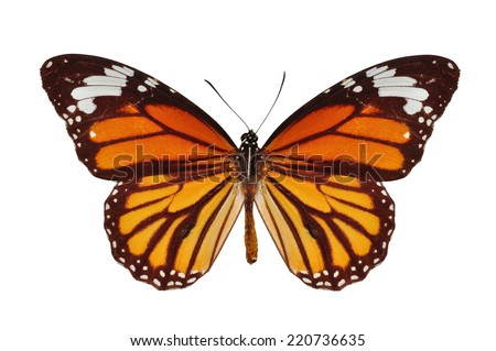 Beautiful monarch butterfly isolated on white background - stock photo