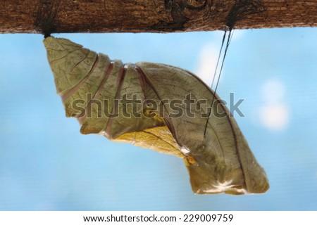beautiful Monarch chrysalis , butterfly - stock photo