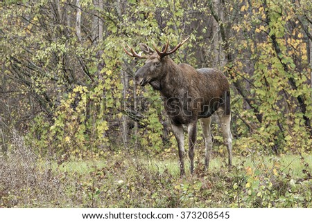 beautiful moose in the forest - stock photo