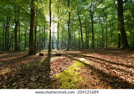 Beautiful morning in beech forest - stock photo