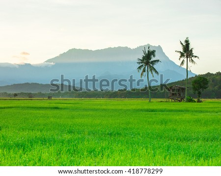 Beautiful morning Mount Kinabalu with paddy field foreground