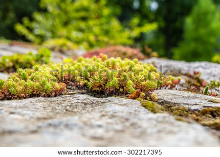 Beautiful moss clusters on the pavement - stock photo